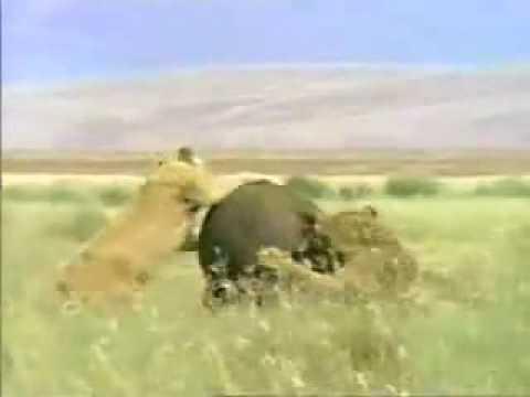 Bufalo Mata A Leon En Pleno Ataque