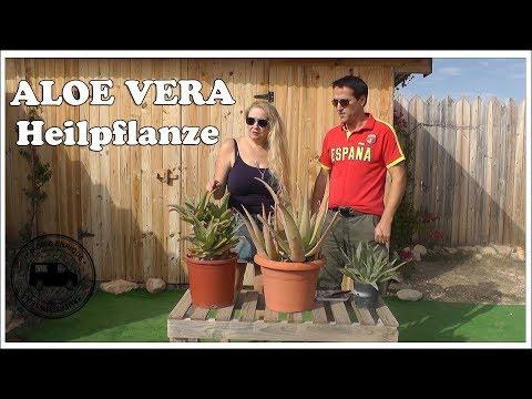 Aloe Vera - Heilpflanze - Pflanze in Spanien