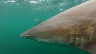 Sharks 31 Dec 2018
