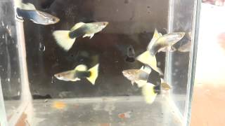 Big blue guppy farm clip.4 Half black yellow tail clip by Micky Red Tail