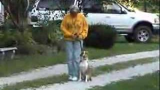 Breeze Australian Shepherd Rescue Dog learning be a dog
