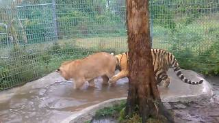 Football time with lion and tiger cubs