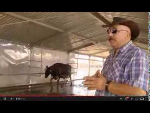 Cool cows make for happier herd in Dubai (Rami Rawabi GULF NEWS Dairy Farm 2013)