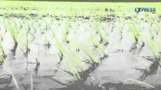 Weed management in Rice through Chemicals - Paadi Pantalu