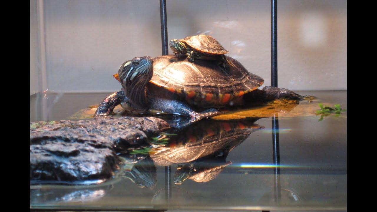 75 Gallon Painted Turtle Tank Setup - YouTube