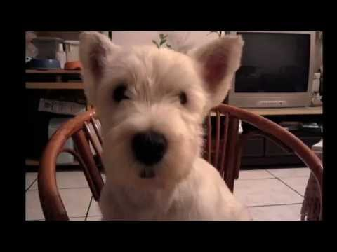 west highland white terrier--鐵鐵 thumbnail