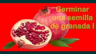 Cómo sembrar y germinar una semilla de granada I