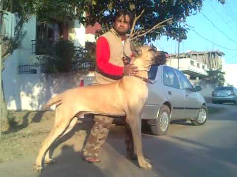 largest dog of India2