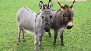 Meet Trevor and Tulip the miniature donkeys!