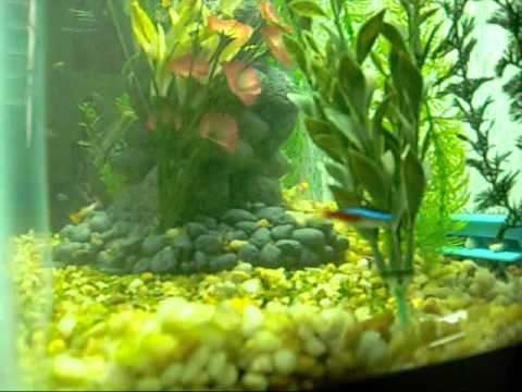Neon Tetras And Guppies Angelfish Guppies And Neon