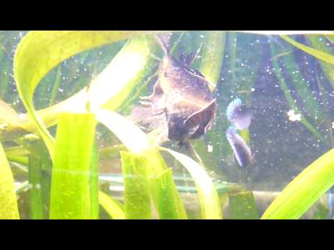 African butterfly fish pantodon buchholzi for Freshwater butterfly fish