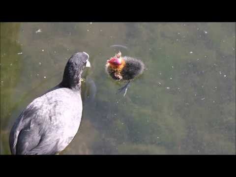 [Lustig] Mami, Mami-Witze - Blässhuhn und Küken - Zoo lustig - Tiere