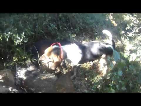Quadruplé De Sangliers 2015 (battue Au Sangliers à Orsan Gard 2015/2016) - video chasse au sanglier