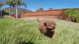 """Tiffany""  Female CavaPoo Designer Puppy For Sale in San Diego!!!"