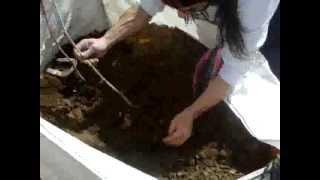 Como sembrar una parra o cualquier arbusto de una rama