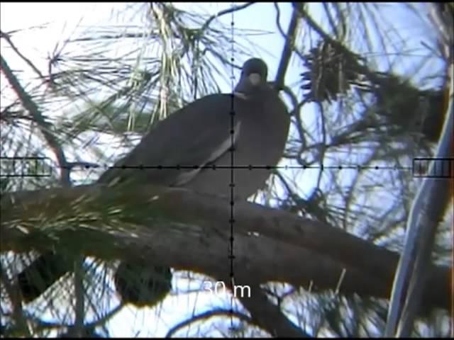 wood pigeon hunting 3 neww 20 wood pigeon shots 13-01-2013