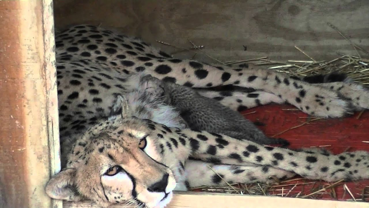 Newborn cheetah cubs