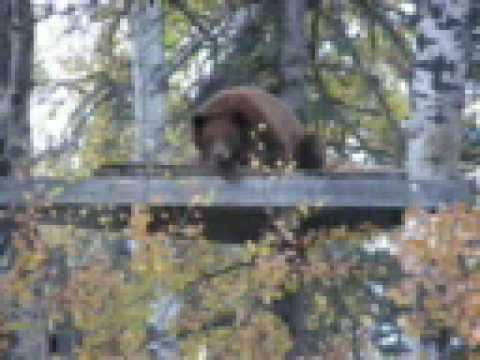 Bear Sleeping In Hunter S Deer Stand Youtube