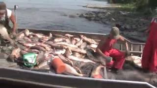 Chinese Fishing Company Harvesting Asian Carp