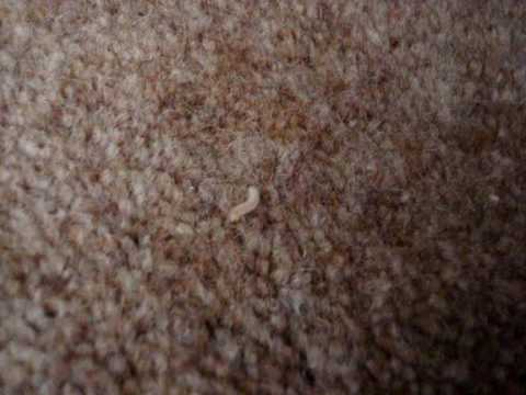 how to get rid of moth larvae in carpet