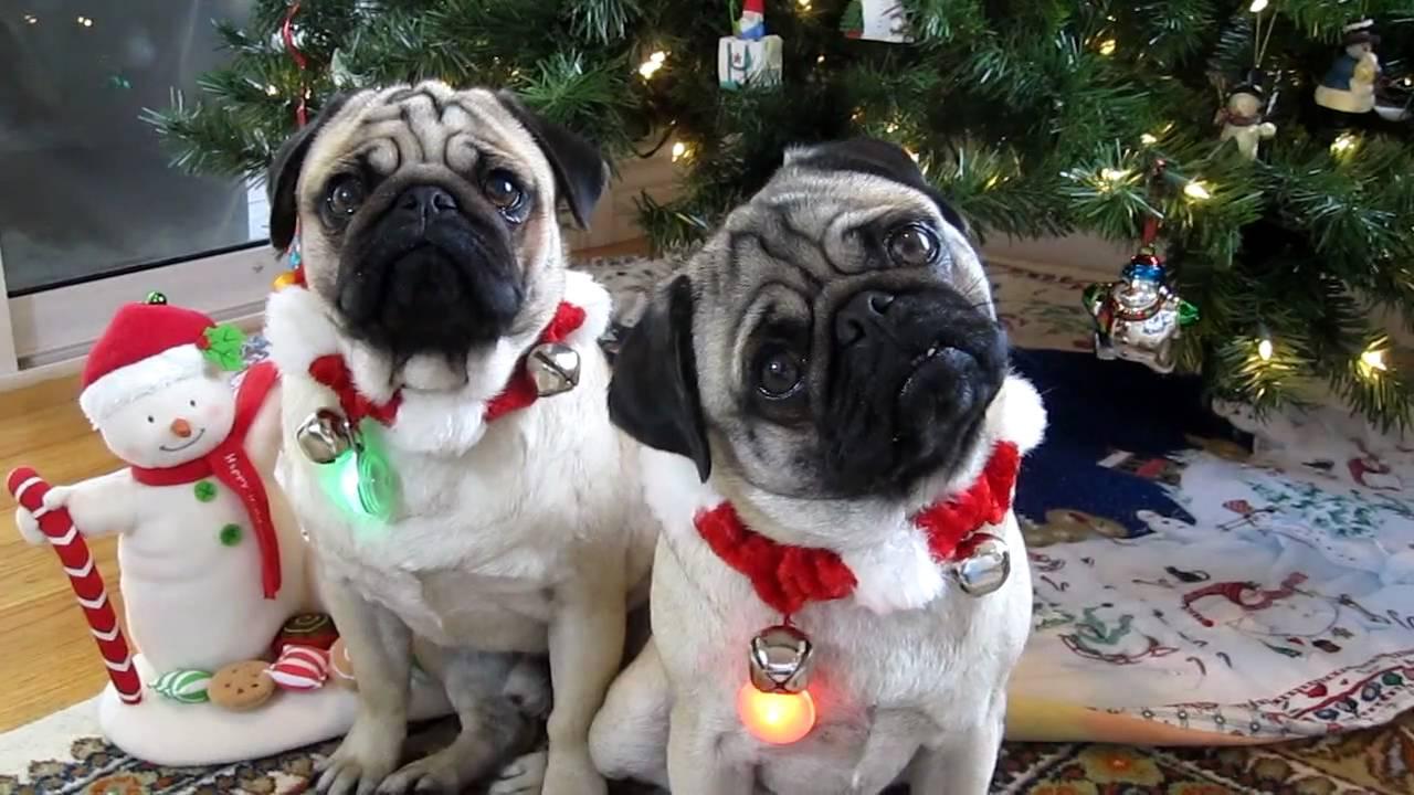 Christmas Pug Head Tilt - YouTube