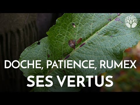 Rumex ou doche et ses vertus thumbnail