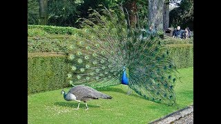 BEAUTIFUL PEACOCKS AND PEAHENS