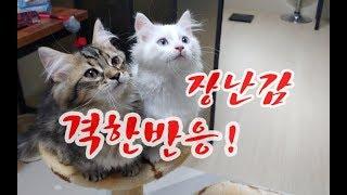 새로운장난감에 이렇게 격한반응을 보이네요 Cats in passionate response to new toys 新しいおもちゃに熱烈な反応に猫