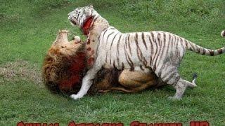 [การโจมตีของสัตว์ - สัตว์] - เสือขาว VS สิงโตต่อสู้ที่แท้จริง - เสือที่น่าตื่นตาตื่นใจต่อสู้สิงโตไปส