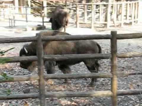 ゆっくり歩くアメリカバイソン @東山動物園