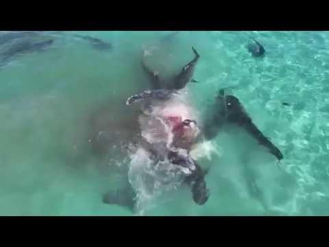 Drone Captures Tiger Shark Feeding Frenzy on Whale in Australia (Full Video)