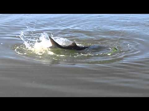 Sturgeon Fishing 2013