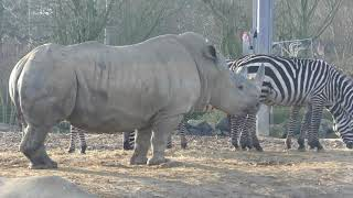 good Baby rhino & zebra etc  Colchester Zoo 19dec17 1258p