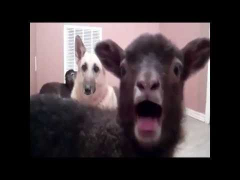 Yeahness (Goat Version of Madness by Muse)