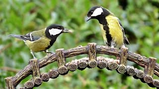 Great Tit Birds at Bird Bridge