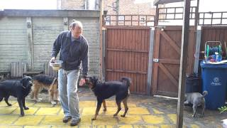 Aggressive Rottweiler being handfed