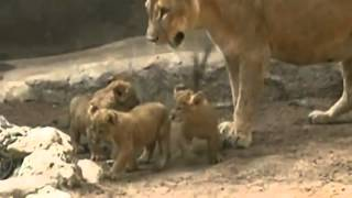 Three cute lion cubs play at Colombian zoo