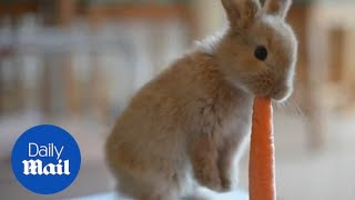 ADORABLE baby bunny rabbit munches on a giant carrot