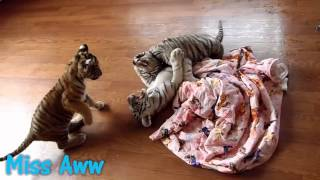 Baby Tiger Cubs Playing Around - CUTE VIDEO