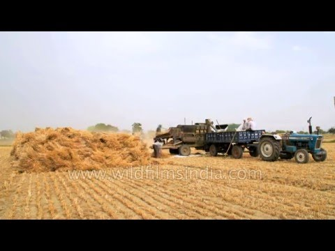 Fields of golden wheat in India: time lapse of harvest and winnowing