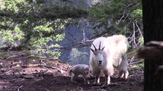 Mt. Baker Wilderness Newborn Mountain Goat (2014)