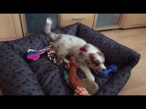 Australian Shepherd Mila - 3 Month