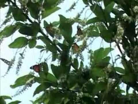 'The Butterfly effect': Colourful butterflies swarm in Coimbatore for annual migration