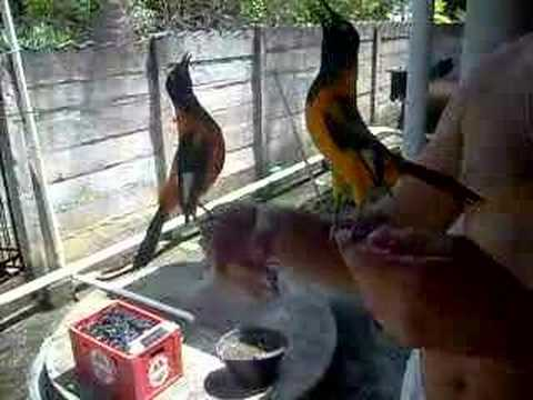 Pássaros Cantores