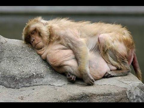 Pics of Fat Monkeys Really Fat Monkeys   Tennōji