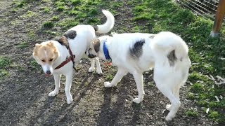Lucky Ney meet a Female dog with similar colour patches