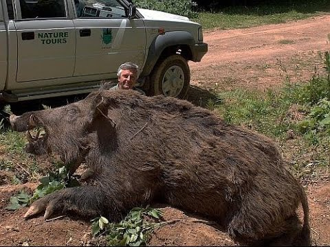 【巨大生物】全長3mにもなる巨大豚!ホグジラ【衝撃】