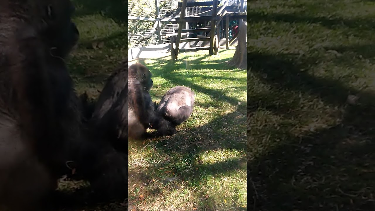 Silverback gorilla attacks