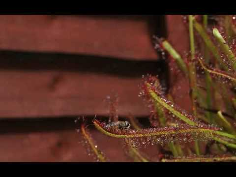 Carnivorous plant sundew eating fly time lapse