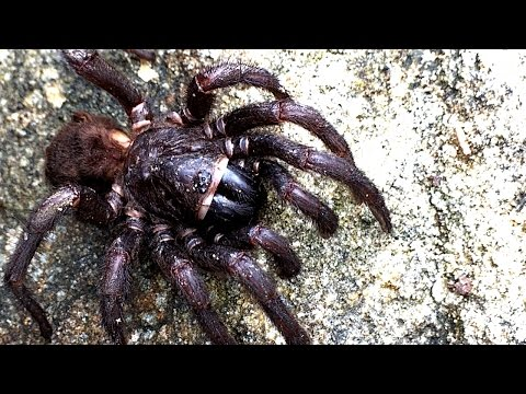 Giant Scary Spider Funnel Web Or Not Mystery Arachnid With 10 Legs